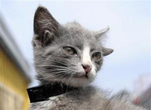 4つ耳の猫