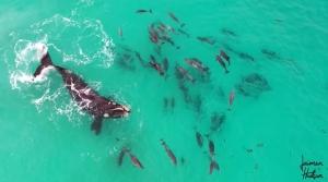 イルカの群とクジラが一緒に泳いでいる映像