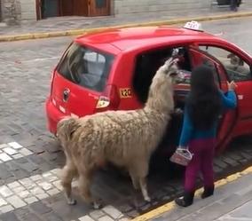 ペルーではラマもタクシーに乗ってもよい