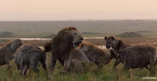 20頭のハイエナに囲まれたライオンが九死に一生を得る