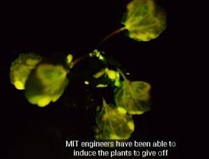 MITでは光る葉っぱを研究している