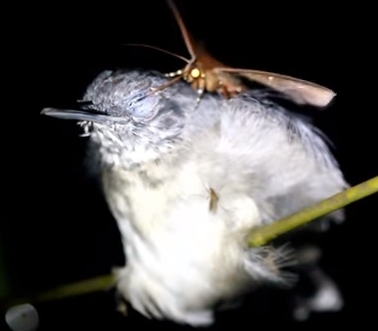 蛾は鳥の涙を啜る事がある