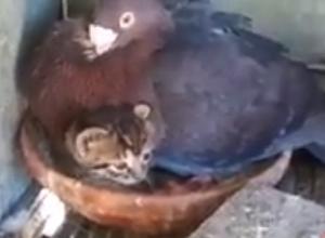 子猫を育てる鳩