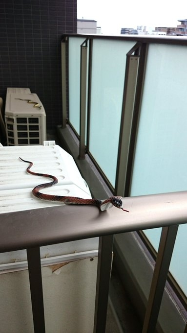 蛇の玩具をベランダに置くだけで鳥が寄りつかなくなる